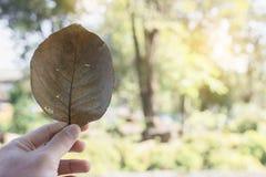 Ręka chwyta suchy liść z zielonym tłem Zdjęcie Royalty Free