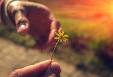 Ręka daje dzikiego kwiatu z miłością przy zmierzchem Zdjęcia Royalty Free