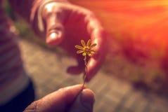 Ręka daje dzikiego kwiatu z miłością przy zmierzchem Obraz Stock