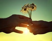 Ręka daje kwiaty przy zmierzchem marguerites z miłością Zdjęcia Royalty Free