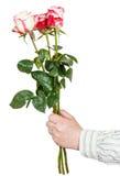 Ręka daje trzy różowej róży odizolowywającej Zdjęcia Stock