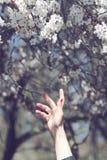 Ręka dosięga out kwitnący drzewni kwiaty Zdjęcie Stock