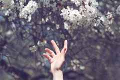 Ręka dosięga out kwitnący drzewni kwiaty Zdjęcia Stock