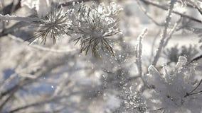 Ręka dotyków gałąź i hoarfrost bryzgamy pięknie w słońcu Zima jest Bożenarodzeniowym czasem zbiory