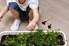 Ręka dziecko z unsprouted cilantro ziarnem zdjęcia royalty free