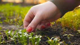 Ręka dziewczyna drzeje zielenie w szklarni swobodny ruch zbiory