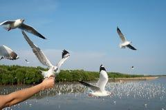 Ręka kobieta która karmi seagulls jeść przy uderzenia Pu Zdjęcia Royalty Free