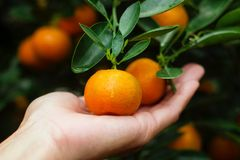 Ręka kobieta trzyma tangerines od drzewa obrazy royalty free