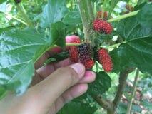 Ręka kobiety utrzymuje świeżą morwową owoc na drzewie obraz royalty free