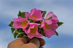 Ręka mężczyzna daje dzikiemu różanemu bukietowi przeciw niebieskiemu niebu Obrazy Stock