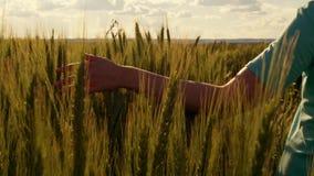 Ręka młoda kobieta przechodzi przez niewyrobionego pszenicznego pola Dziewczyny ` s ręka dotyka ucho zielona banatka _ zbiory