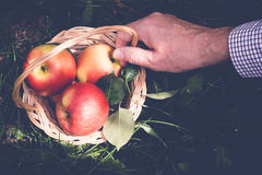 Ręka ogrodniczki mienia kosz jabłka Selekcyjna ostrość, stonowana Obrazy Royalty Free