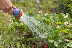 Ręka ogrodniczki podlewania truskawka w ogródzie zdjęcie royalty free