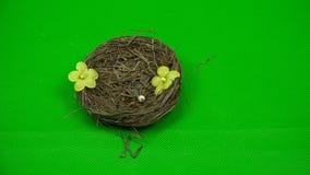 Ręka osoba dekoruje z kwiatu gniazdeczkiem gniazdownik na zielonym tle zbiory wideo