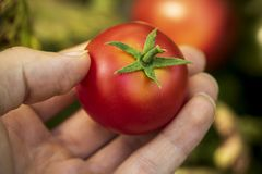 Ręka podnosi wyprodukowany lokalnie pomidoru fotografia royalty free