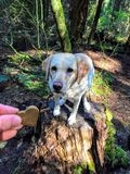 Ręka podtrzymuje psią ciastko fundę młody żółty lab w lesie gdy siedzi na fiszorka czekaniu jeść fundę zdjęcie royalty free