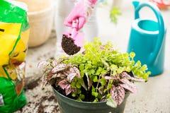 Ręka puszkuje rośliny Zdjęcie Royalty Free