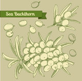 Ręka remisu dennego buckthorn gałąź Zdjęcia Stock
