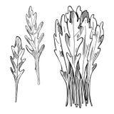 Ręka rysująca Arugula sałatka opuszczać rucola Wektorowy nakreślenia illustra Zdjęcia Stock