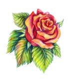 Ręka rysująca czerwieni róża na białym tle zdjęcia royalty free
