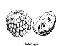 Ręka Rysująca Dojrzały Custard Apple na Białym tle ilustracja wektor