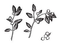 Ręka rysująca gałąź z jagoda ustawiającym konturu nakreśleniem Wektorowy czarny atramentu rysunek odizolowywaj?cy na bia?ym tle G royalty ilustracja