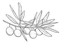 Ręka rysująca kreskowej sztuki ilustracja gałązka oliwna Odizolowywający na wh Obrazy Royalty Free
