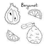 Ręka rysująca sztuka bergamota Czarny liniowy rysunek cytrus owoc ilustracja wektor