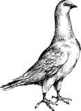 Ręka rysujący śliczny gołąb Fotografia Royalty Free