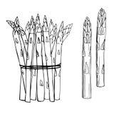 Ręka rysujący asparagus na białym tle Ilustracja Wektor