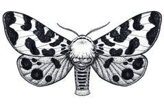 Ręka rysujący motyli tatuaż Nierówny motyl Arctia Caja Americana Dotwork tatuaż ilustracji