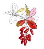 Ręka rysujący nakreślenie berberys pospolity Obraz Royalty Free