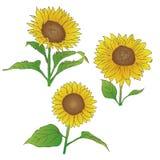 Ręka rysujący nakreślenie słoneczniki ilustracji