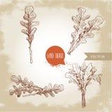 Ręka rysujący nakreślenie stylu arugula liście ustawiający Pojedynczy liść i wiązki Świeży sałatkowy eco składnik Obraz Stock