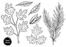 Ręka rysujący nakreślenie stylu cilantro, rozmaryn royalty ilustracja