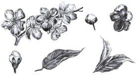 Ręka rysujący odizolowywający węgla drzewnego ołówka kwiaty okwitnięcia, pączki i leafson pulm, biały tło Grafika ustawiająca wew royalty ilustracja