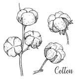 Ręka rysujący set bawełniane gałąź Bawełniani kwiatów pączki i ziarno strąki w rocznik grawerującym stylu Botaniczna sztuka odizo Obraz Royalty Free