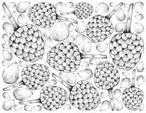 Ręka Rysujący tło Dojrzały Cherimoya i Cempedak owoc ilustracji