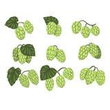 Ręka rysujący wektorowy ustawiający zieleni chmiel rożki rozgałęzia się z liśćmi Browarniany przemysł Naturalny element Projekt d royalty ilustracja