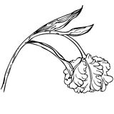 Ręka rysuje czarny i biały tulipanowego kwiatu Zdjęcie Royalty Free