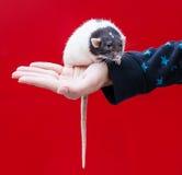 ręka szczur zdjęcie stock