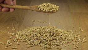 Ręka szybko nalewa jęczmienne adra od drewnianej łyżki na stosie jęczmień zbiory