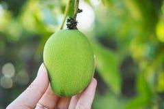 Ręka trzyma świeżego zielonego mango & potomstwa Obraz Stock