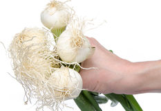 Ręka trzyma białe cebule z zielonymi badylami zdjęcia royalty free
