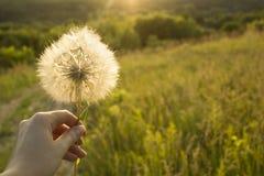Ręka trzyma białego puszystego Dandelion kwiatu w ręce, na zielonym łąki polu zdjęcia stock