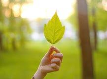 Ręka trzyma liść klonowego w słońcu Liść w ręce w Pogodnym Zdjęcie Stock