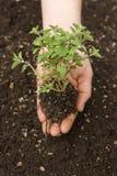 ręka trzyma małego drzewa Obrazy Royalty Free