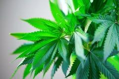 Ręka trzyma Makro- marihuany zieleni świezi wielcy liście, konopiana roślina (marihuana) fotografia stock