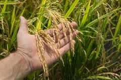 Ręka trzyma ryżowych ucho Fotografia Royalty Free