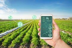 Ręka trzyma smartphone z infographics na tle kartoflany plantacji pole Narosły wysoki i wydajność obraz stock